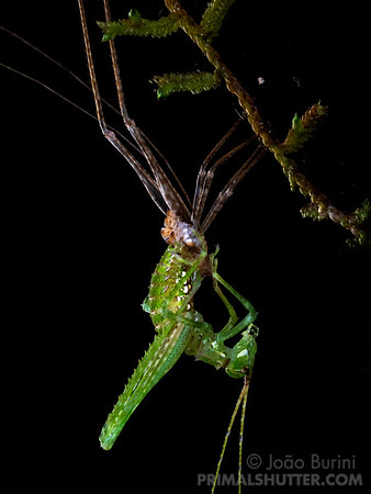 Ecdysis of a green katydid