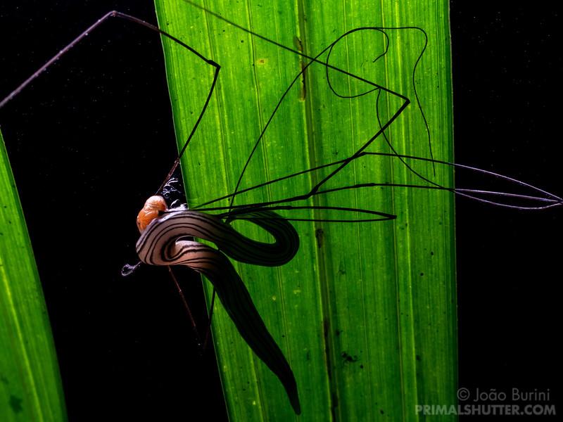 Flatworm preying on a harvestman