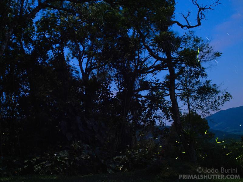 Fireflies at dusk in the rainforest