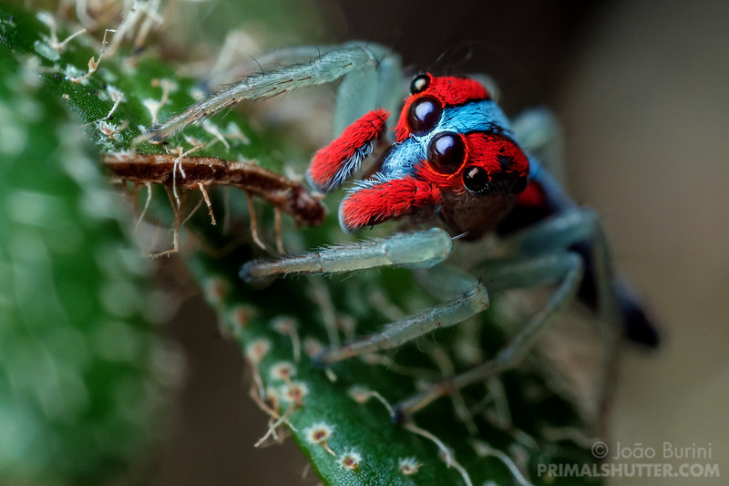 Close-up of a coloful jumping spider