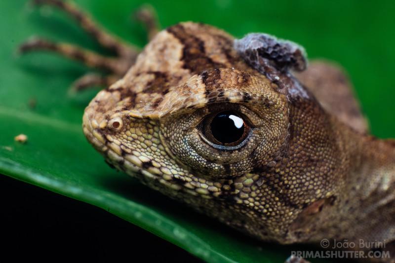 Portait of an Enyalius lizard shedding skin
