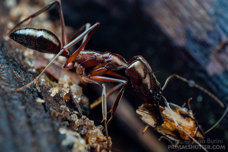 Trap jaw ant preying on a cockroach