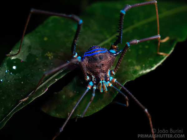 Fluorescence of a harvestman