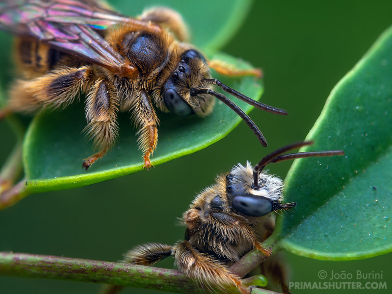 Solitary bees hanging on to leaves