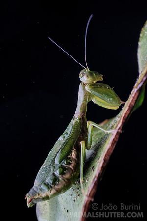 Green dwarf mantis