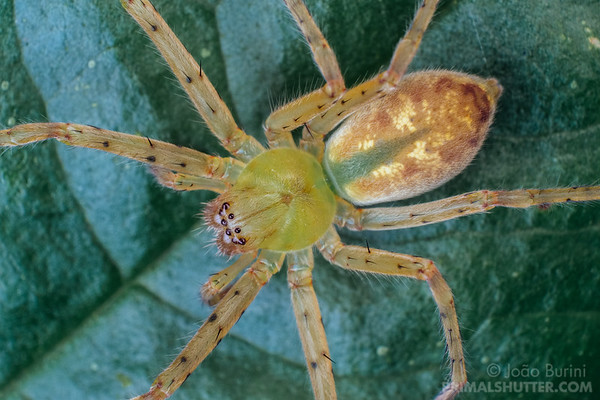Dorsal view of a green huntsman spider