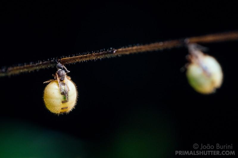Tick flies lodged on a stick bug antenna