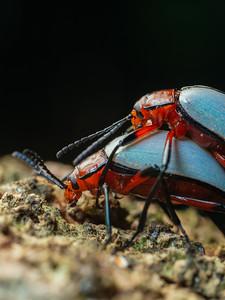 Mating white darkling beetles