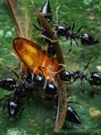 Ants attacking a beetle