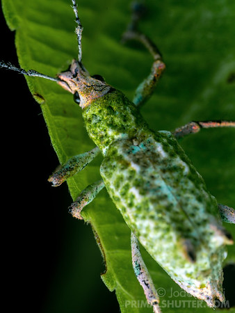White and green weevil