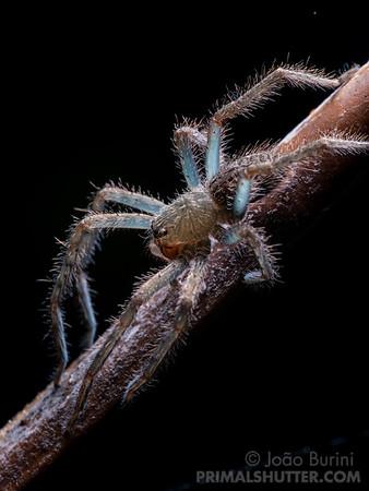 Imature wandering spider with transluscent exoskeleton post moult