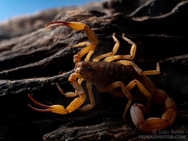 Brazilian yellow scorpion