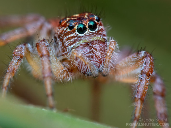 Jumping spider portrait