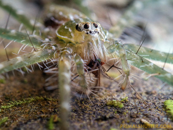Fishing spider eating a fungus gnat