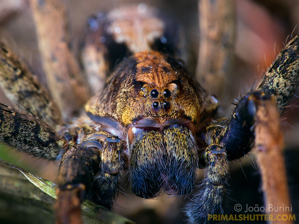 Portrait of an ornate wandering spider