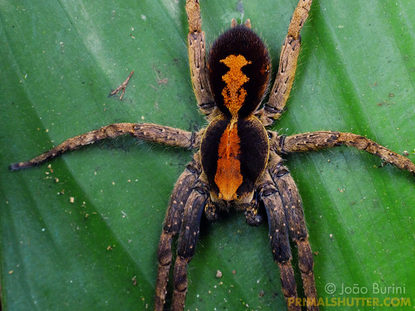 Close-up of an ornate wandering spider