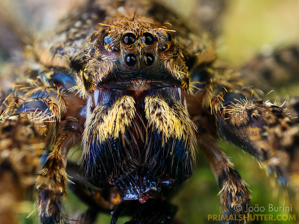 Face of a wandering spider with yellow fangs