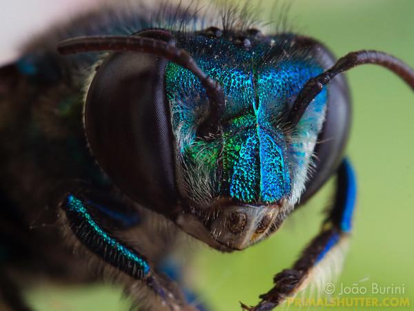 Blue orchid bee close-up, dead specimen