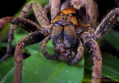 Ornate wandering spider feeding on a worm