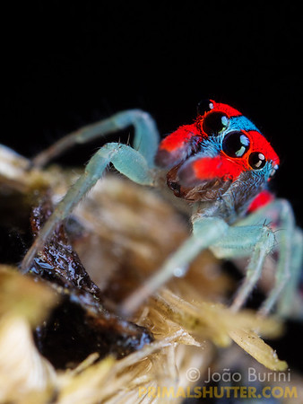 Colorful red and blue jumping spider