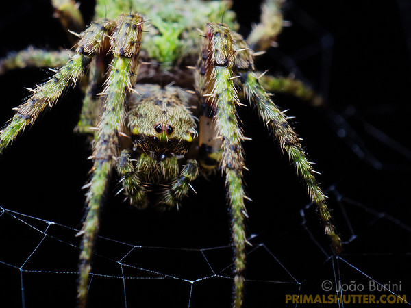 Lichen camouflaged orb weaving spider
