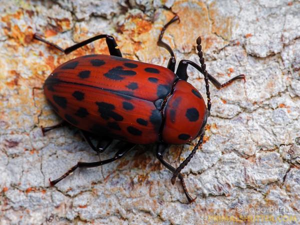 Red darkling beetle