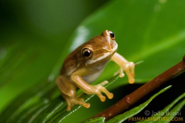 Yellow treefrog on a fern leaf