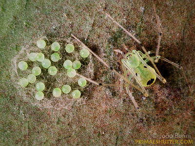 Green spider guarding it's egg sac