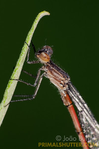 Damselfly covered in dew