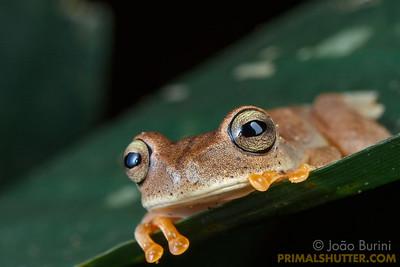 Treefrog looking on a leaf border
