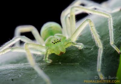 Portrait of a green huntsman spider