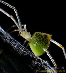 Green mirror spider