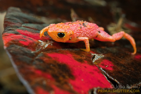 Pumpking toadlet over the red leaves