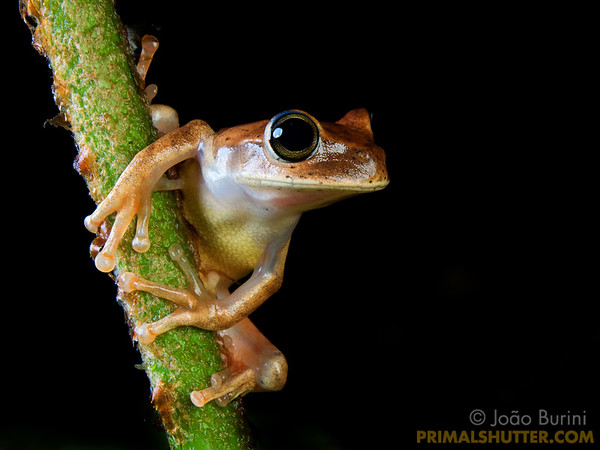 Yellow treefrog on a plant stalk