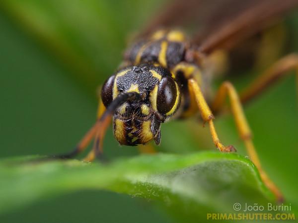 Trigonalid wasp