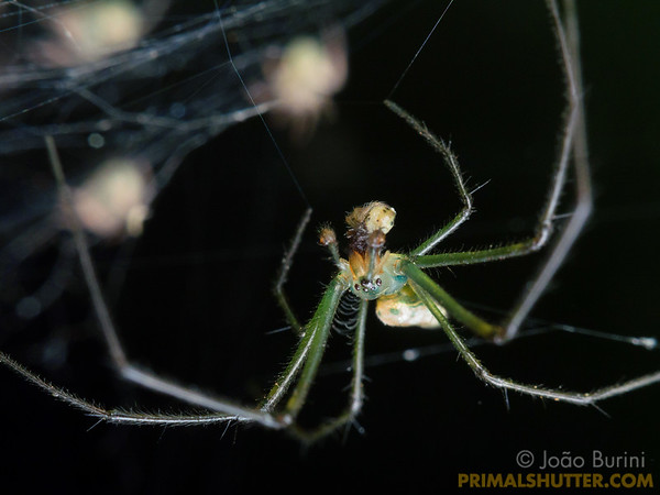Long jawed spider cannibalizing spiderlings