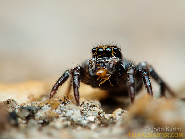 Small jumping spider feeding on an ant