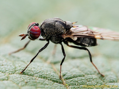 Soldier fly (Stratyiomidae)