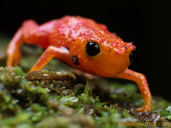 Colorful pumpkin toadlet