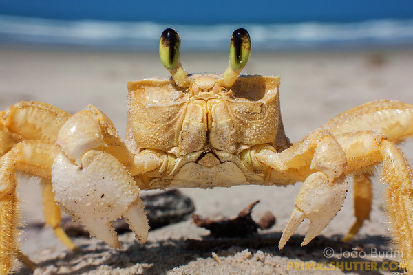 Atlantic ghost crab on the beach sand