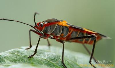 Squash bug close-up