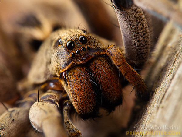 Frontal portrait of a wolf spider with eye details