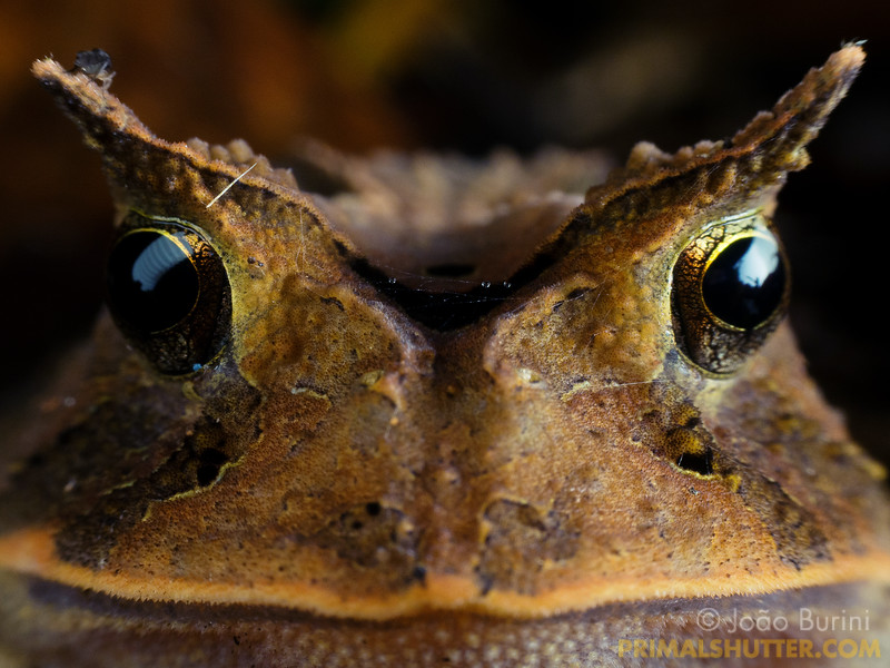 Frontal portrait of a horned frog