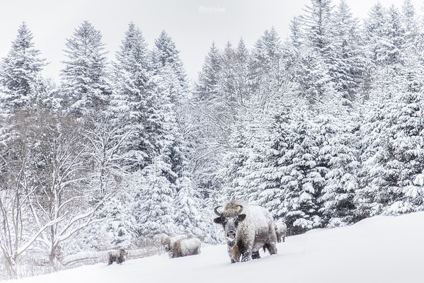 Żubry (Bison bonasus) zimą Bieszczady ©Mateusz Matysiak