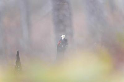 Hejnalista z mglistego boru