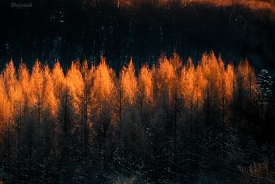 Płonące modrzewie