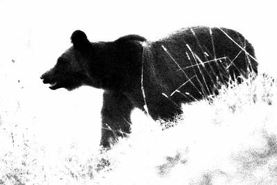 Niedźwiedź czarno na białym