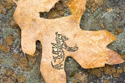 Worm-Eaten Leaf