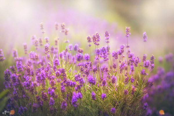 Lavender Field Aglow