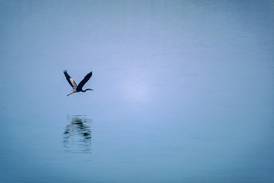 Heron Flying over the Arkansas River